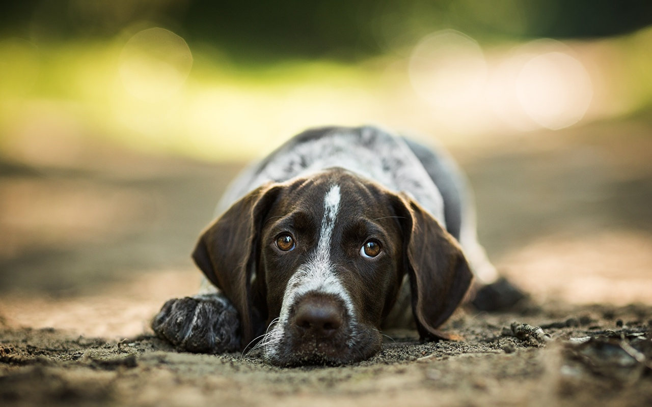 Desktop Wallpapers Spaniel Dogs Glance animal dog Staring Animals