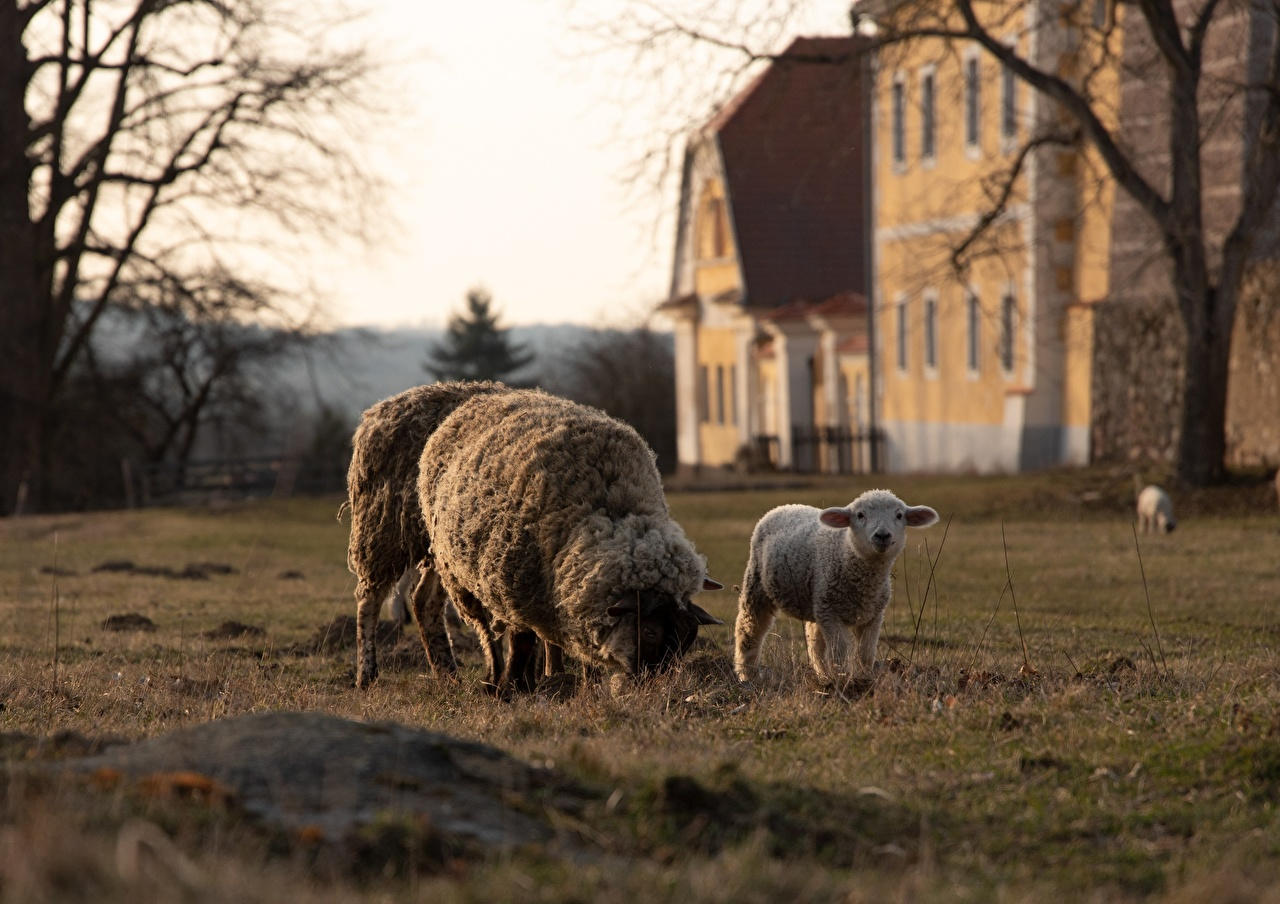 Picture Sheep Cubs Grass Animals animal