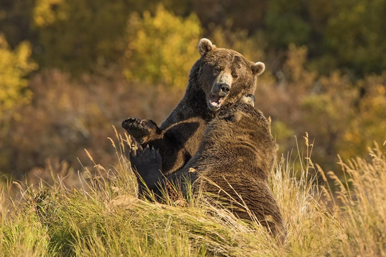 Osos Oso pardo Dos Hierba Pelear animales, un animal, un oso, 2 Animalia