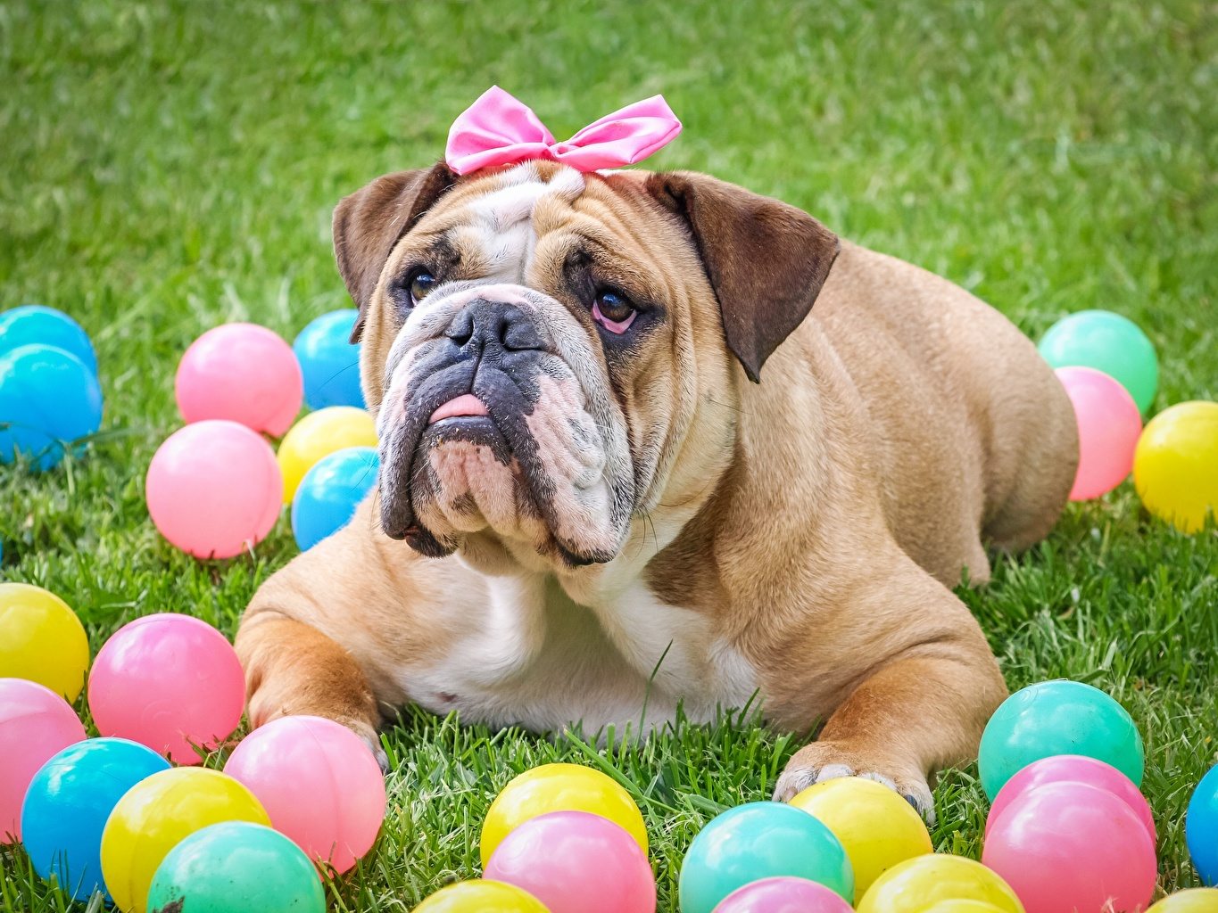 Pictures Bulldog Dogs Lying down Grass Balls bow knot Animals dog laying esting Bowknot animal