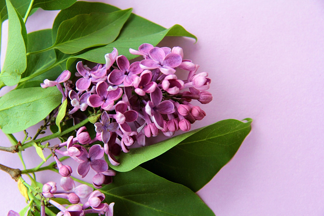 Photo Violet flower Syringa Colored background Lilac Flowers