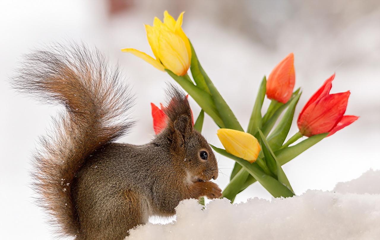Immagini scoiattolo tulipa Neve fiore animale Scoiattoli Tulipani tulipano Fiori Animali