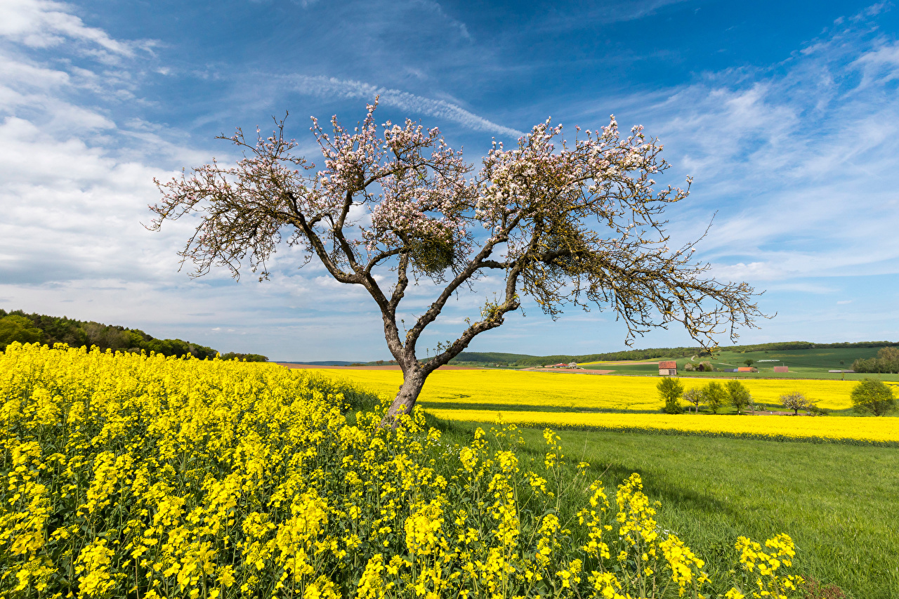 Photo Germany Hessen Nature Spring Rapeseed Sky Fields Flowering trees oilseed rape