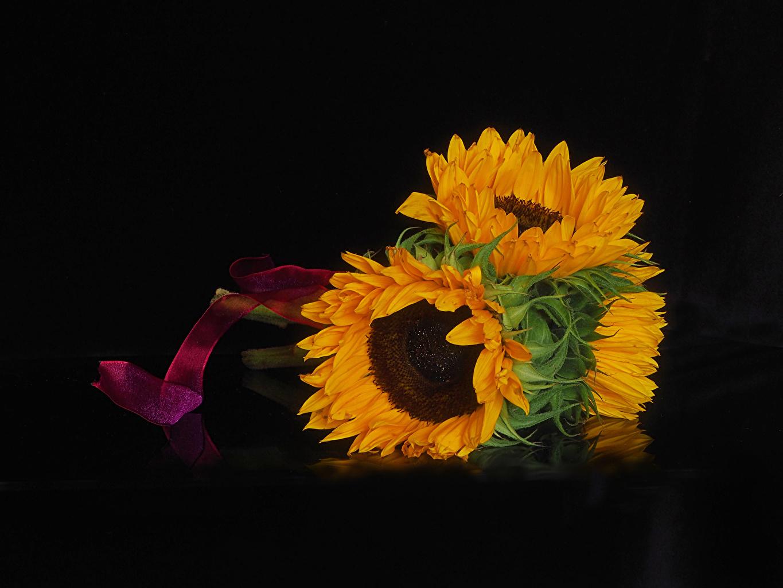 Foto Blumen Sonnenblumen Großansicht Schwarzer Hintergrund Blüte hautnah Nahaufnahme