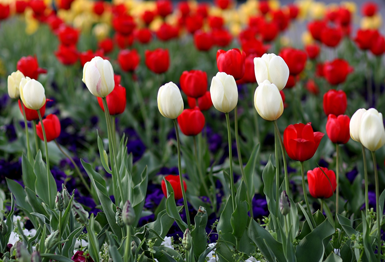 Pictures Red White tulip Flowers Many