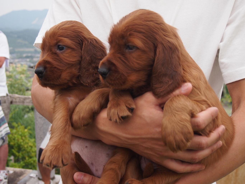 Image Puppy Irish Setter dog Two Hands Animals puppies Dogs 2 animal