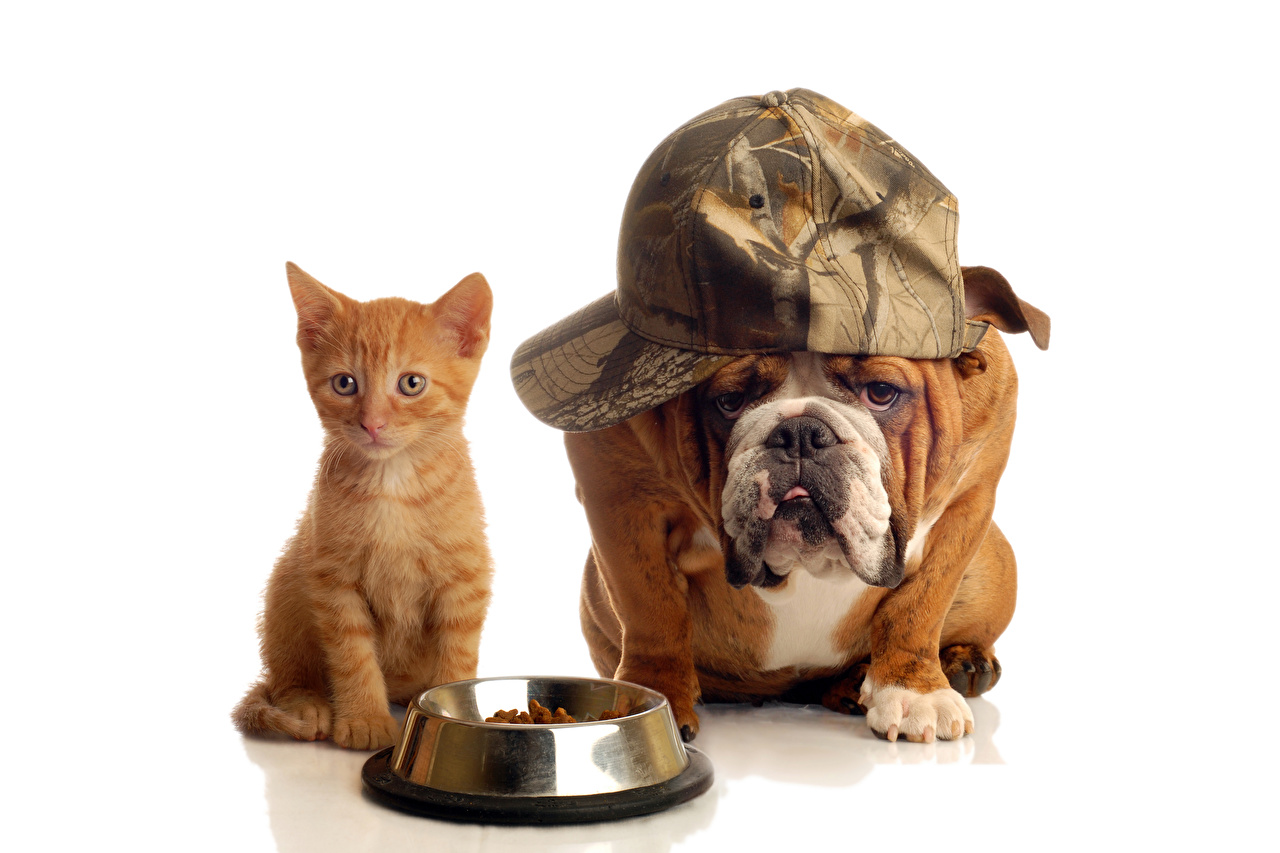 Wallpaper Bulldog Kittens dog Cats Two animal Baseball cap White background kitty cat cat Dogs 2 Animals