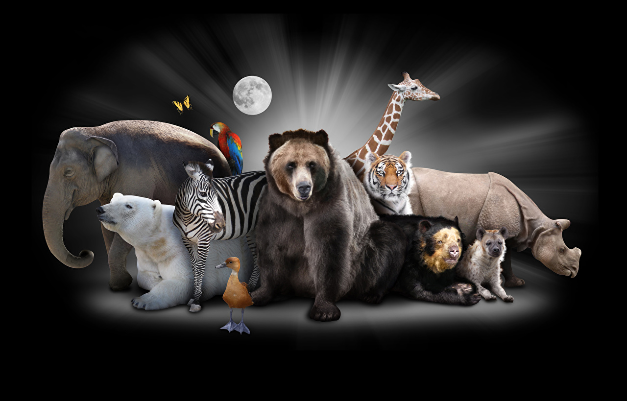 Picture Grizzly Polar bears Birds tiger Zebras Hippos giraffe elephant animal Black background Brown Bears bird zebra Tigers Giraffes Elephants hippopotamus Animals