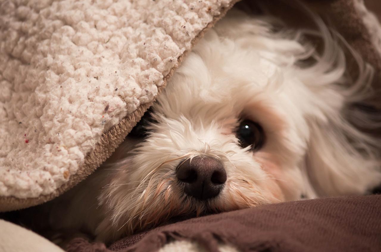Bilder Welpe Havaneser Hund Bichon Tiere Starren