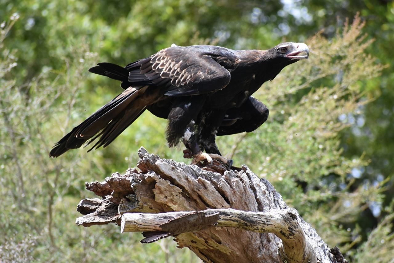 Image bird Eagles blurred background Black Animals Birds Bokeh animal