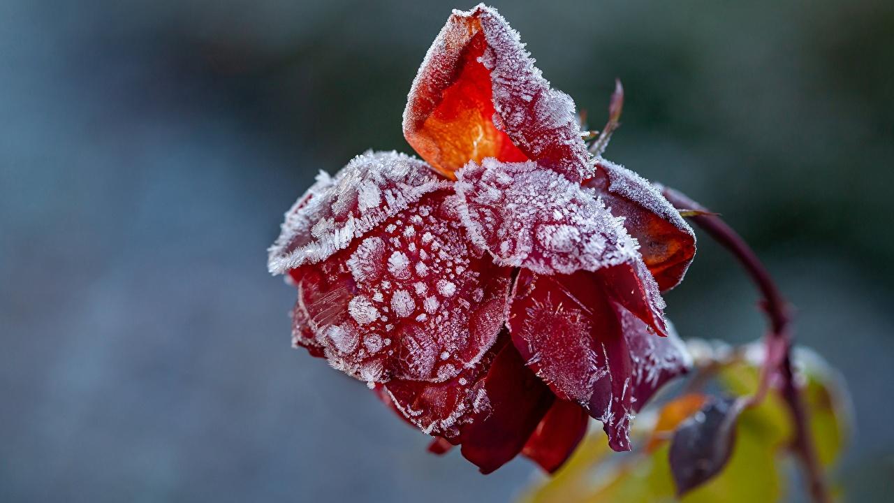 Desktop Hintergrundbilder Blüte Bokeh Rot Rosen Reif niederschlag Nahaufnahme Blumen unscharfer Hintergrund Rose hautnah Großansicht