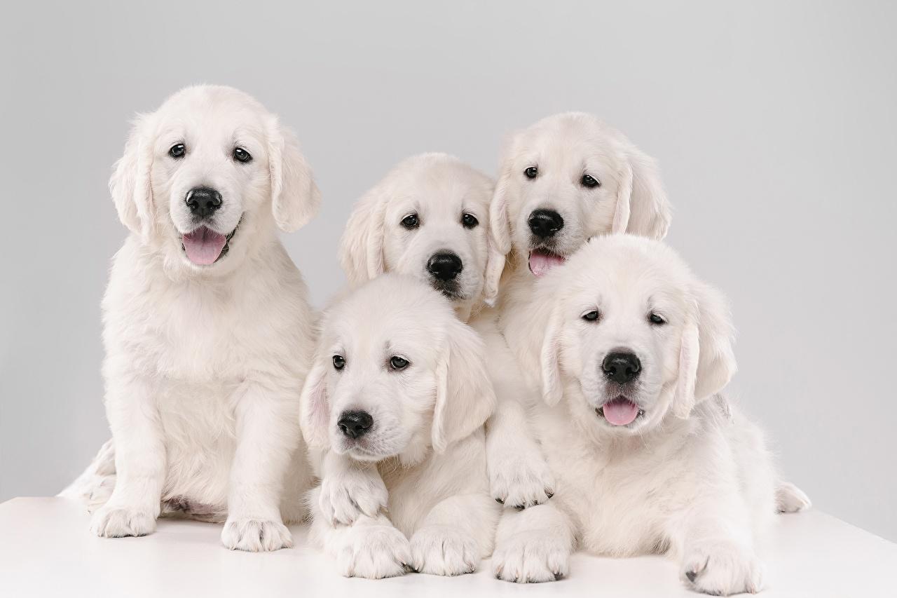Foto welpen Golden Retriever Hunde 5 Weiß ein Tier Welpe hund Tiere