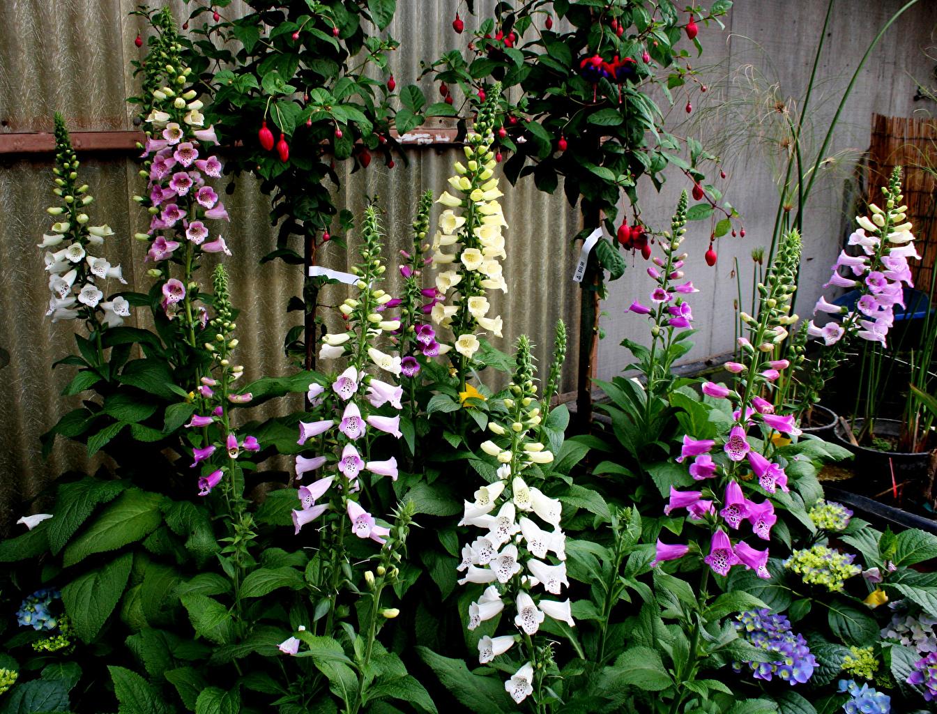 Desktop Wallpapers flower foxgloves Flowers Digitalis