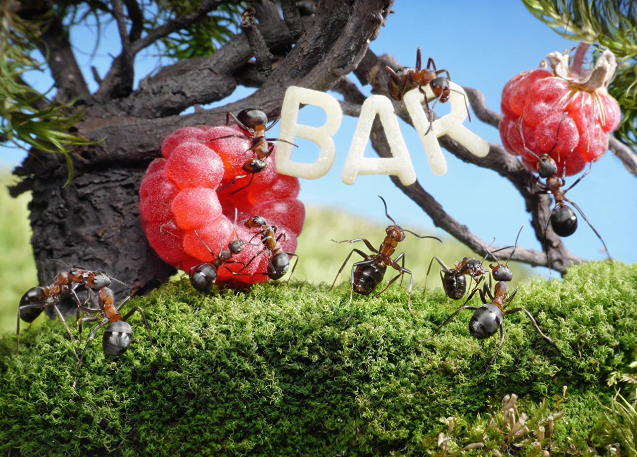 ,蚂蚁,覆盆子,特寫,酒吧,動物,