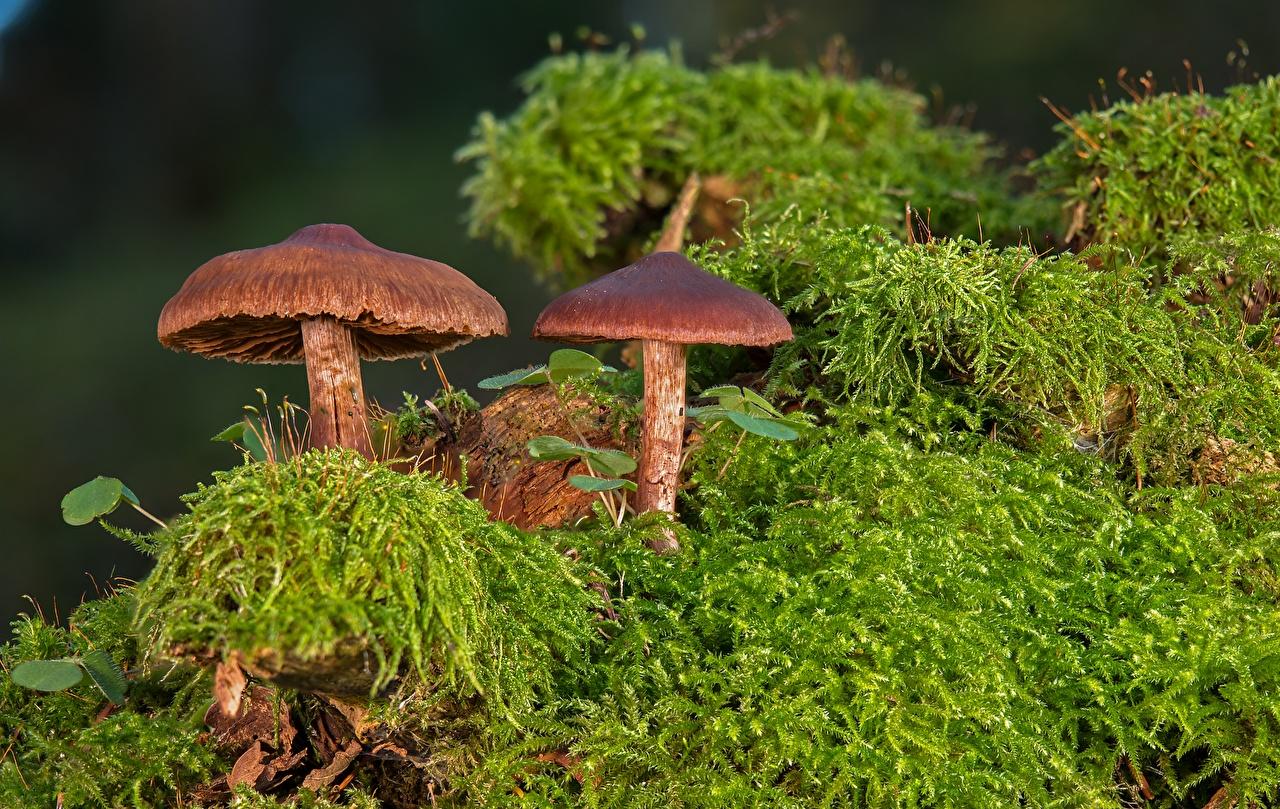 Fotos Lepiota castanea, chestnut dapperling Natur Laubmoose Pilze Natur