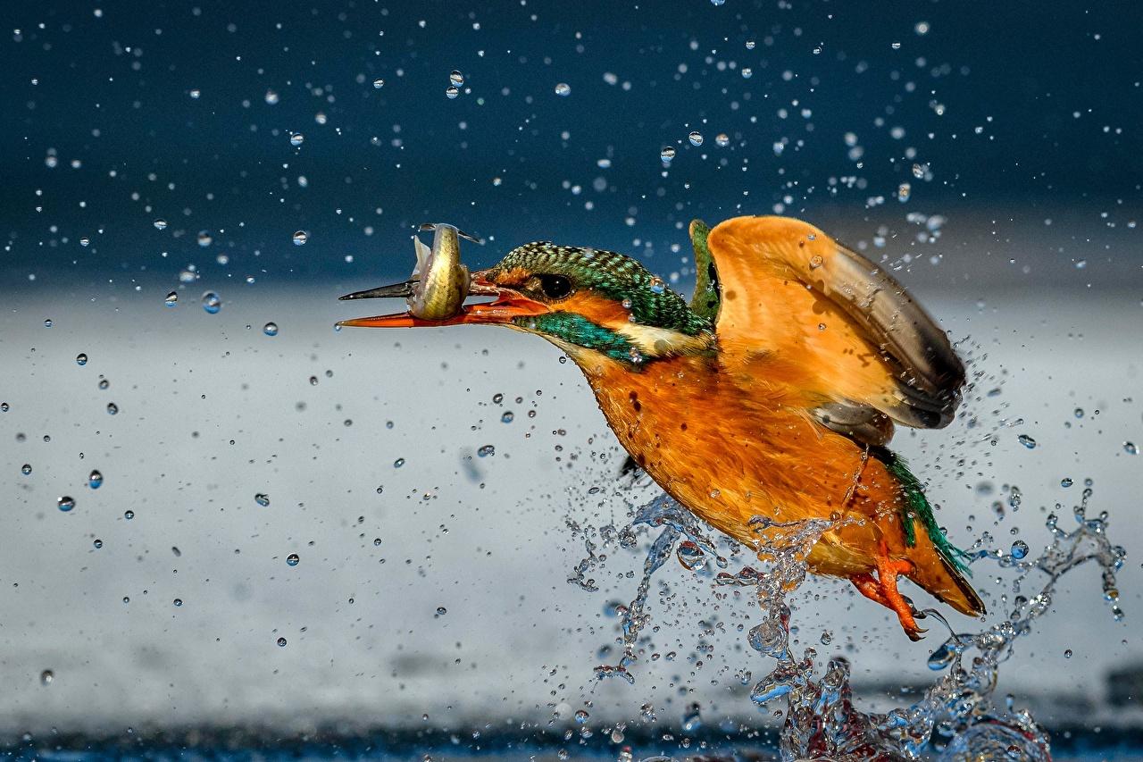 Foto Eisvogel Fische Vögel spritzwasser Flug Tiere Wasser spritzt ein Tier