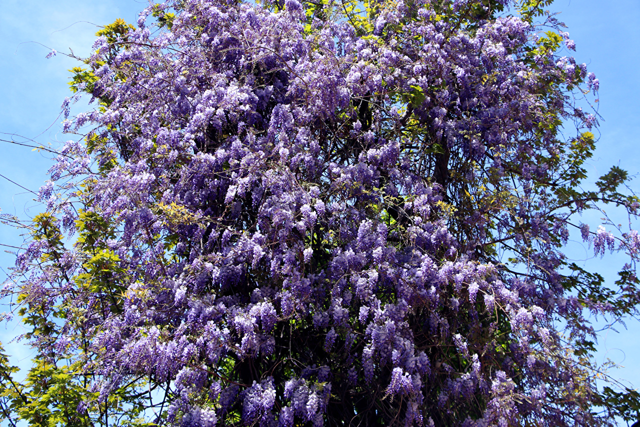 Pictures Violet Lilac flower Branches Syringa Flowers