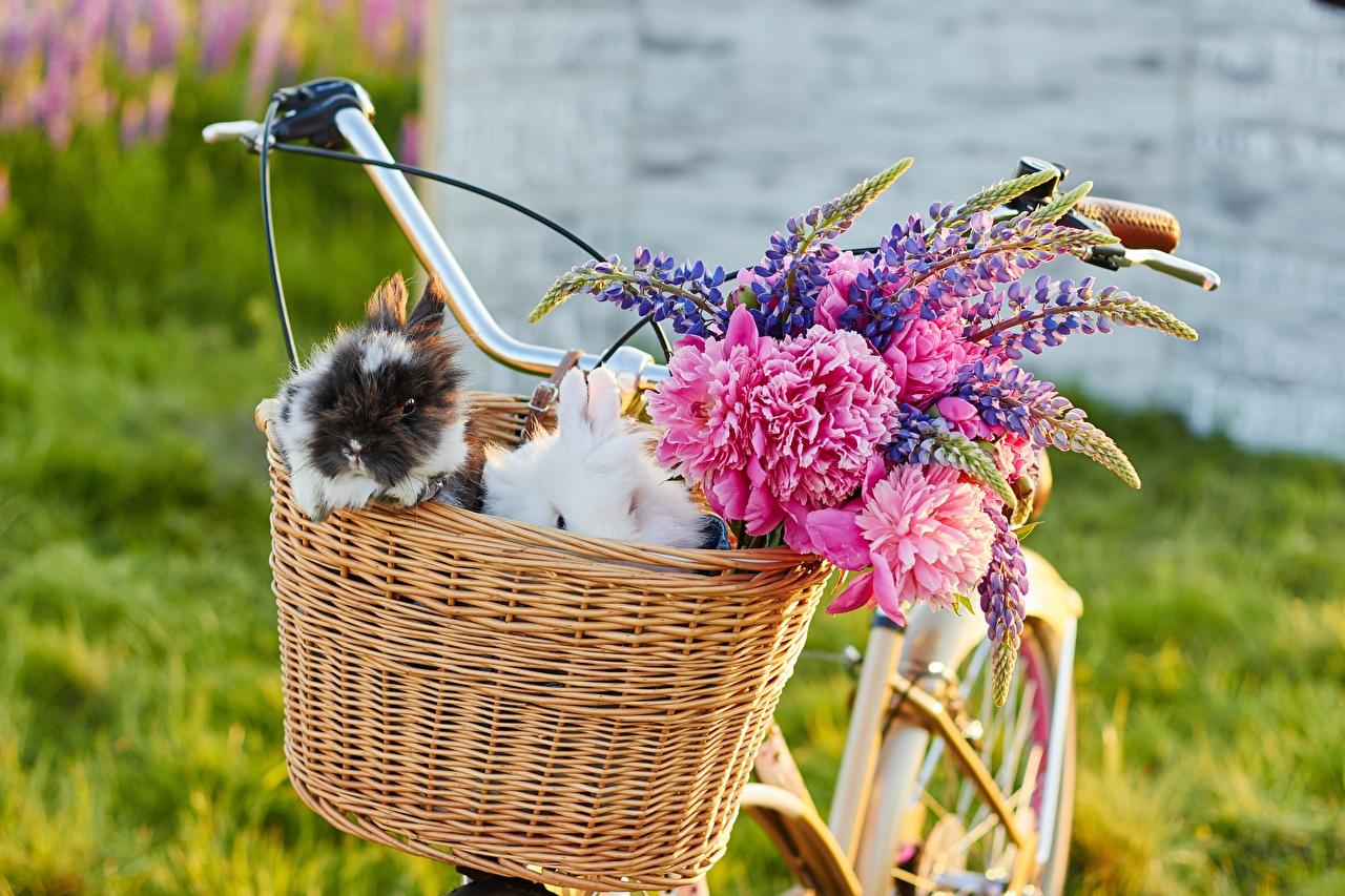 Bilder Kaninchen Fahrrad Blumen Lupinen Weidenkorb Tiere fahrräder Blüte ein Tier
