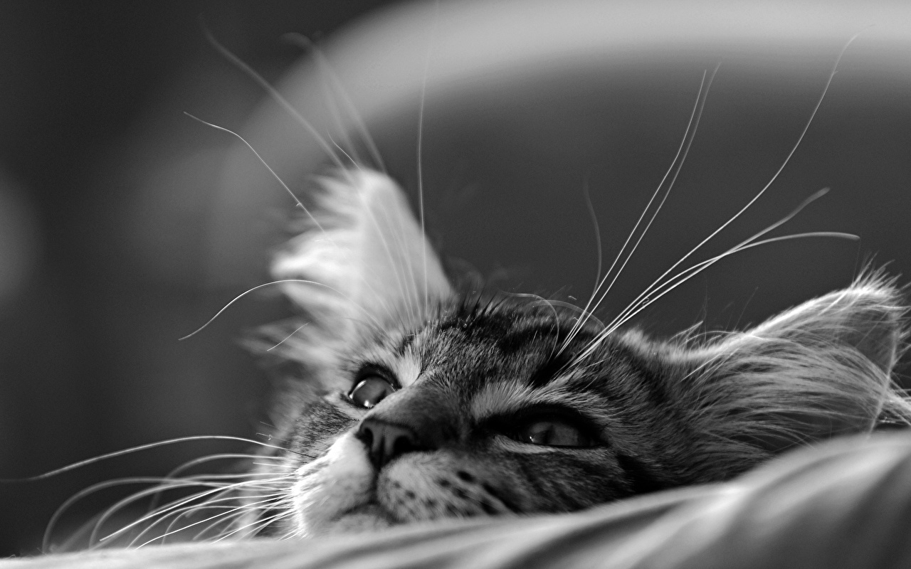 Fonds d'ecran Chat domestique En gros plan Chatons Noir et blanc Vibrisse Museau Animaux ...