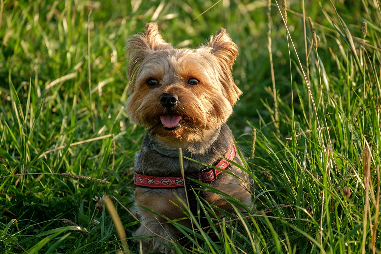 Pictures Yorkshire terrier dog Tongue sit Grass Staring Animals Dogs Sitting Glance animal