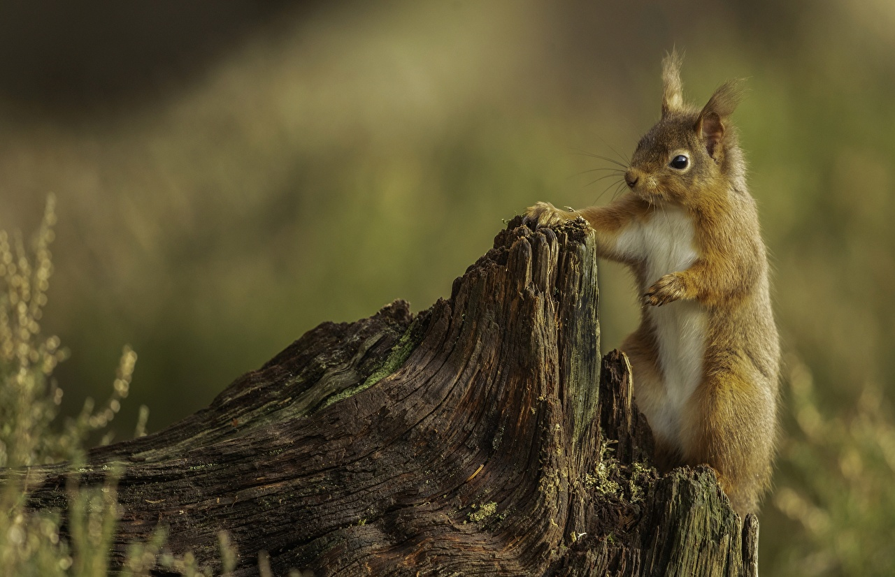 Desktop Wallpapers Squirrels Rodents blurred background Tree stump Animals Bokeh animal