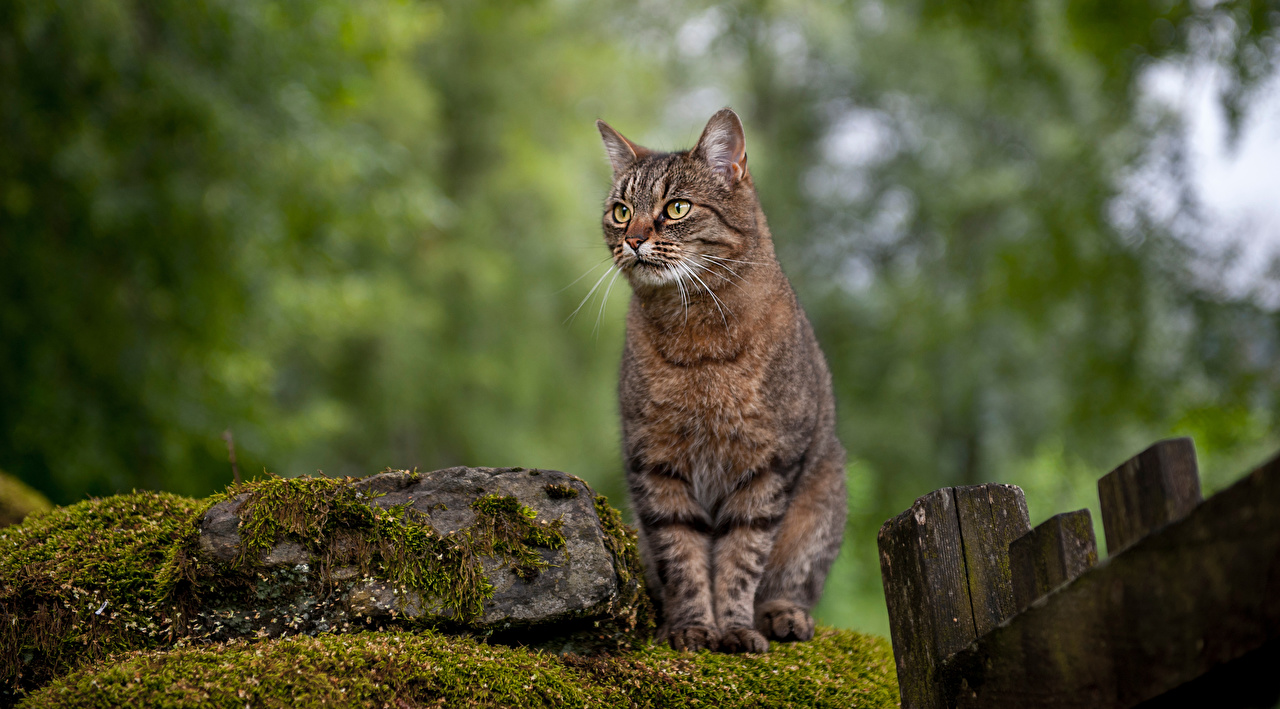 Images cat blurred background Moss stone Sitting Animals Cats Bokeh sit Stones animal