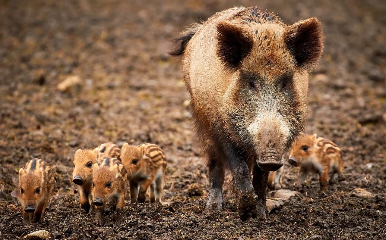 Photos Wild boar Cubs Animals wild pig wild swine animal