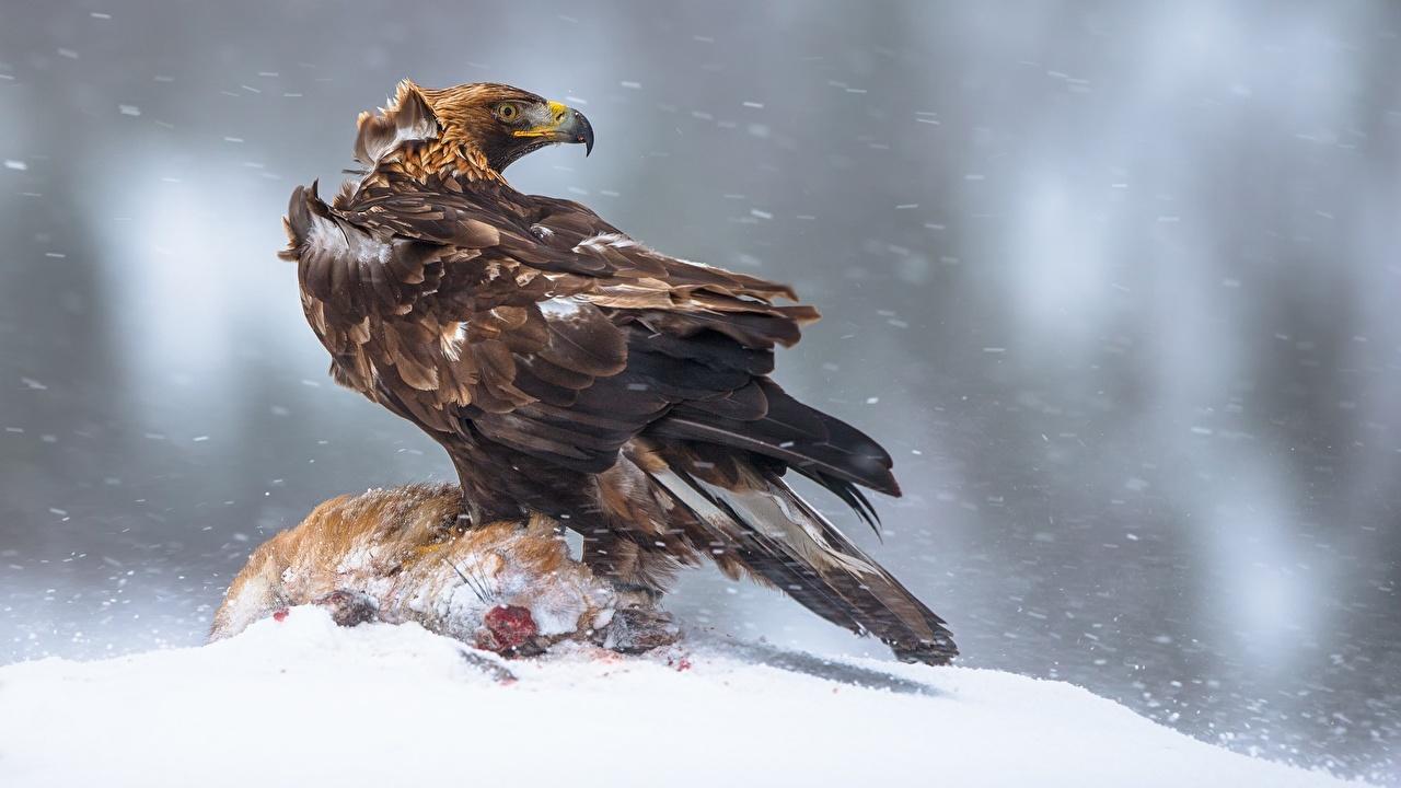 Desktop Wallpapers eagle Birds Aquila chrysaetos Snow animal bird Eagles Animals