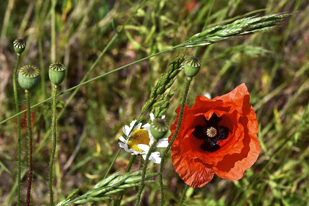 ,罌粟,红色,花蕾,花卉,