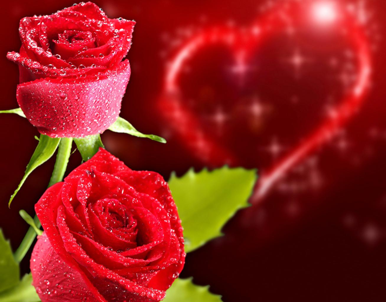 foto valentinstag herz rot rosen blumen feiertage großansicht