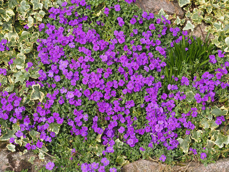 Immagini Aubretia colore viola Fiori molti Violetto fiore Molte