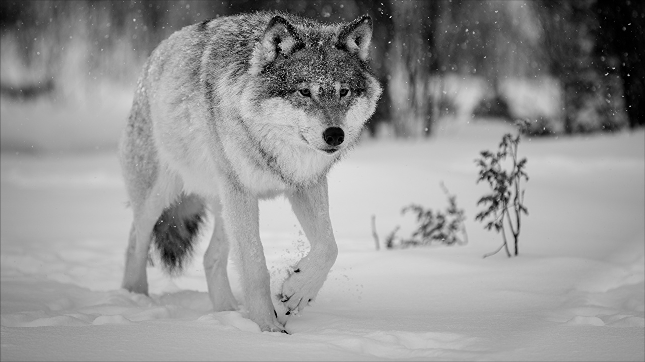 Picture wolf Winter Snow Animals Wolves animal