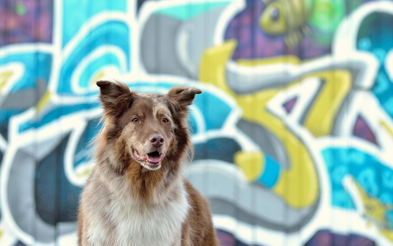 Desktop Wallpapers Border Collie dog Graffiti animal Dogs Animals