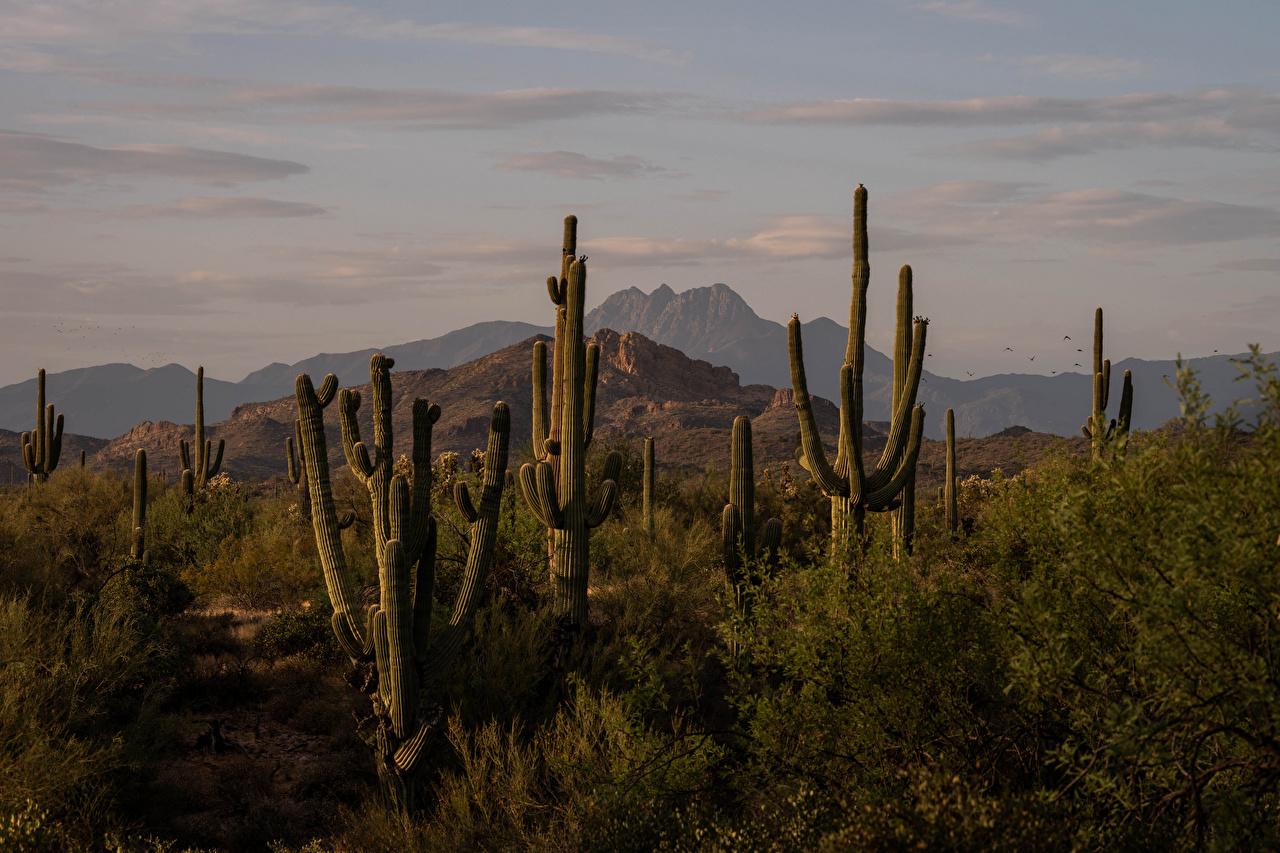Images USA Four Peaks, Arizona Nature Mountains Cactuses mountain cacti