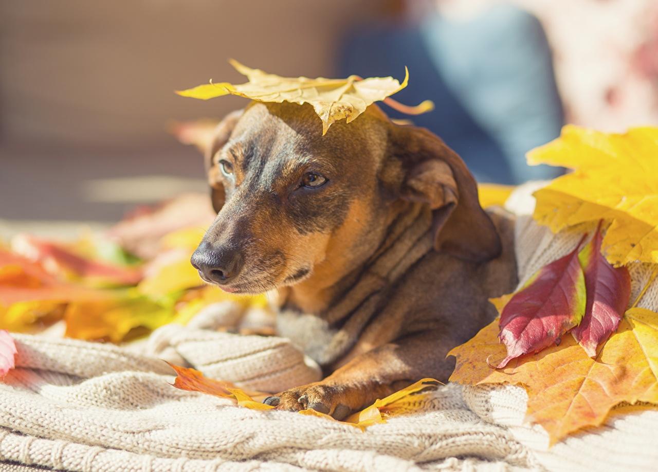 Images Dogs Foliage Autumn animal Staring dog Leaf Glance Animals