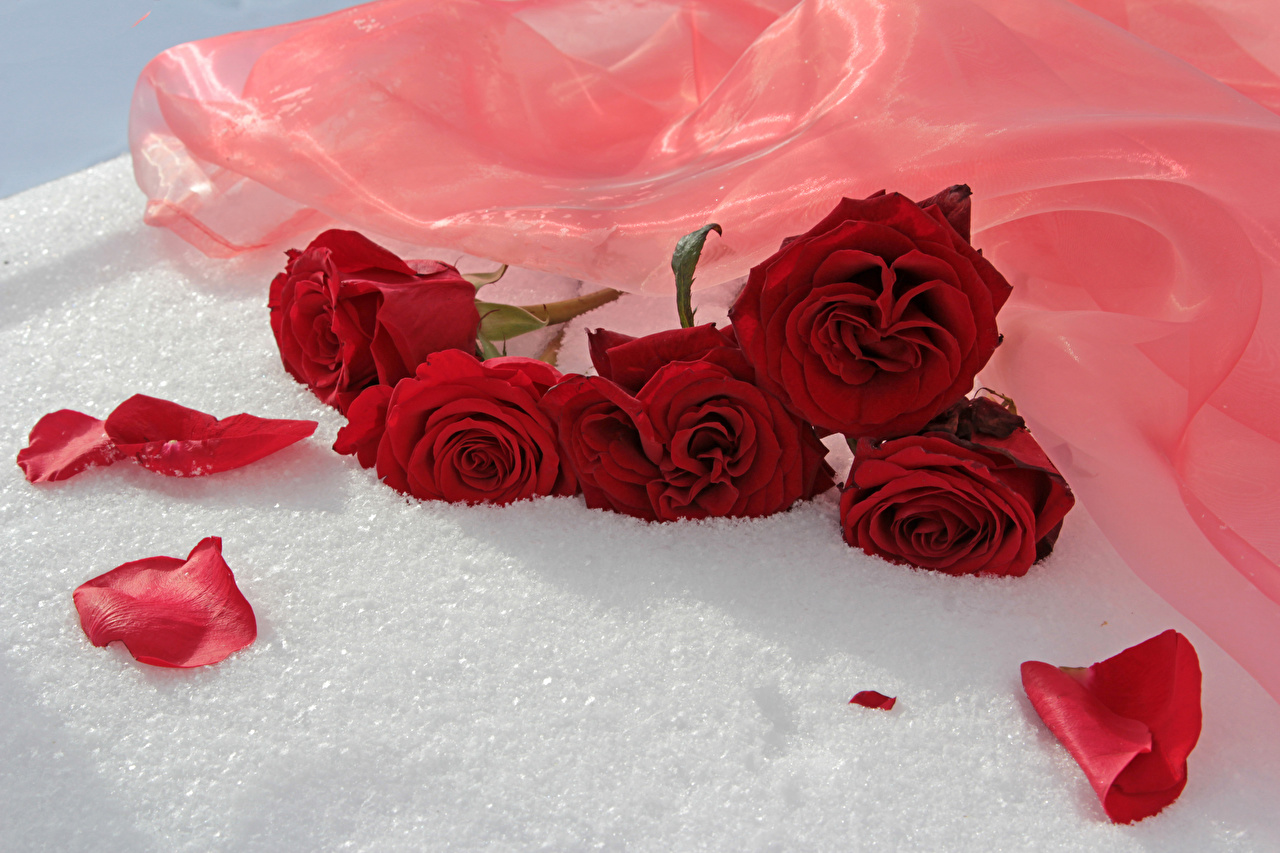 Picture Red rose Petals flower Roses Flowers