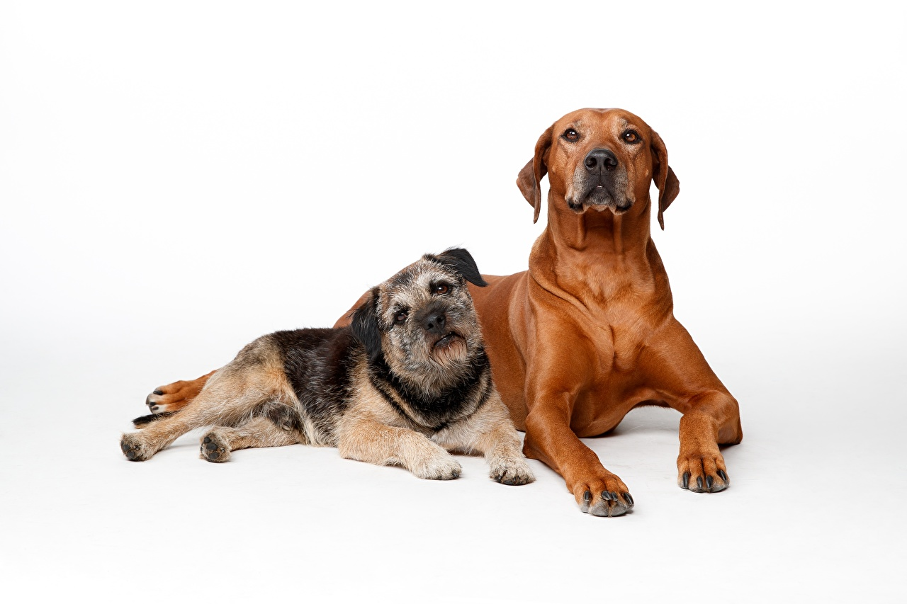 Picture dog Lying down Rhodesian Ridgeback 2 animal Staring White background Dogs laying esting Two Glance Animals