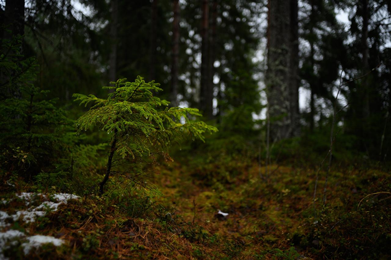 Finlândia Florestas árvores Bokeh floresta, Fundo desfocado Naturaleza