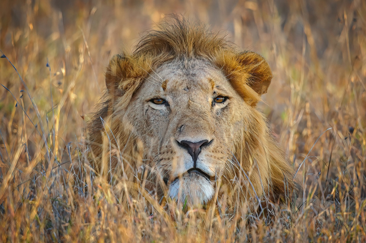 Fotos von Löwen Schnauze Blick Tiere Löwe Starren ein Tier