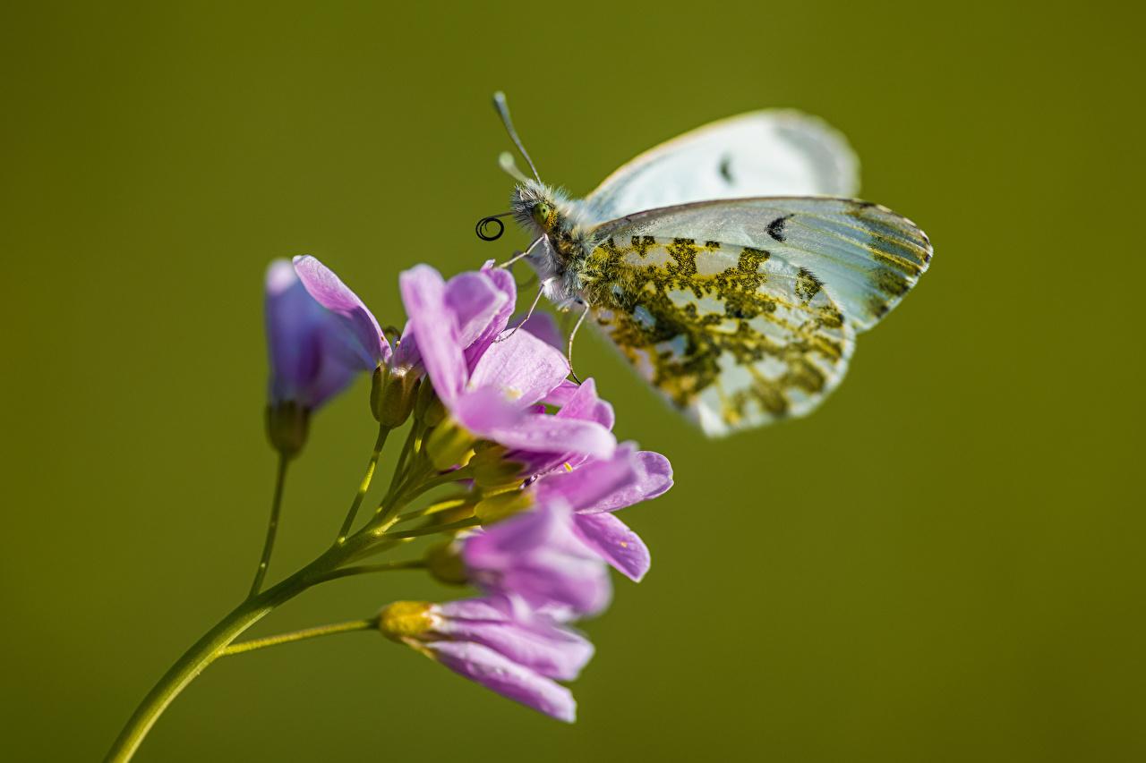 Fotos von Schmetterlinge Anthocharis cardamines Tiere Nahaufnahme Schmetterling hautnah ein Tier Großansicht
