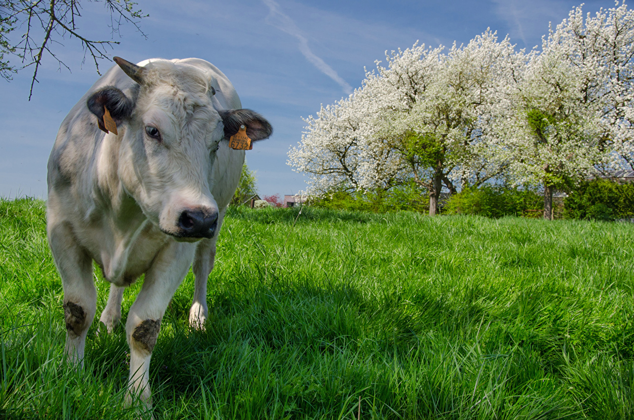 Desktop Wallpapers Cow Grass Front Animals cows animal