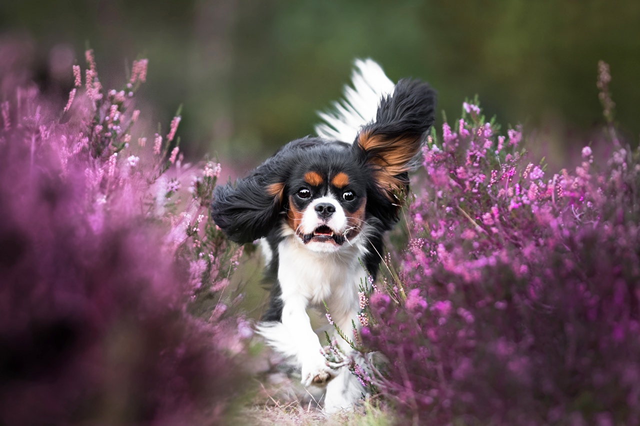Photo King Charles Spaniel dog Run Animals Dogs Running animal