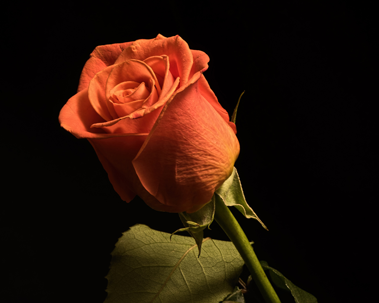 Foto ros Orange blomma Närbild Svart bakgrund Rosor Blommor