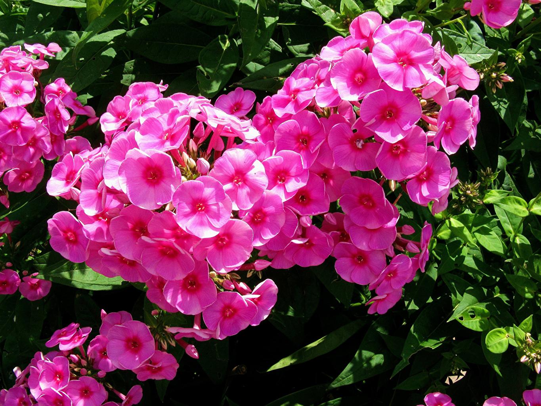 Images Pink color Phlox flower Closeup Flowers