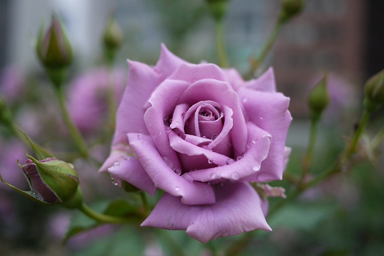 Images Roses Violet Flowers Closeup