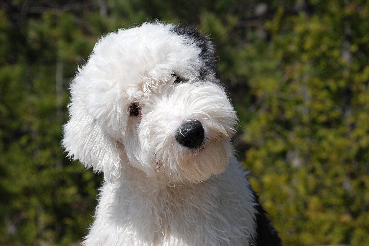 Pictures Puppy Old English Sheepdog dog Glance animal puppies Dogs Staring Animals