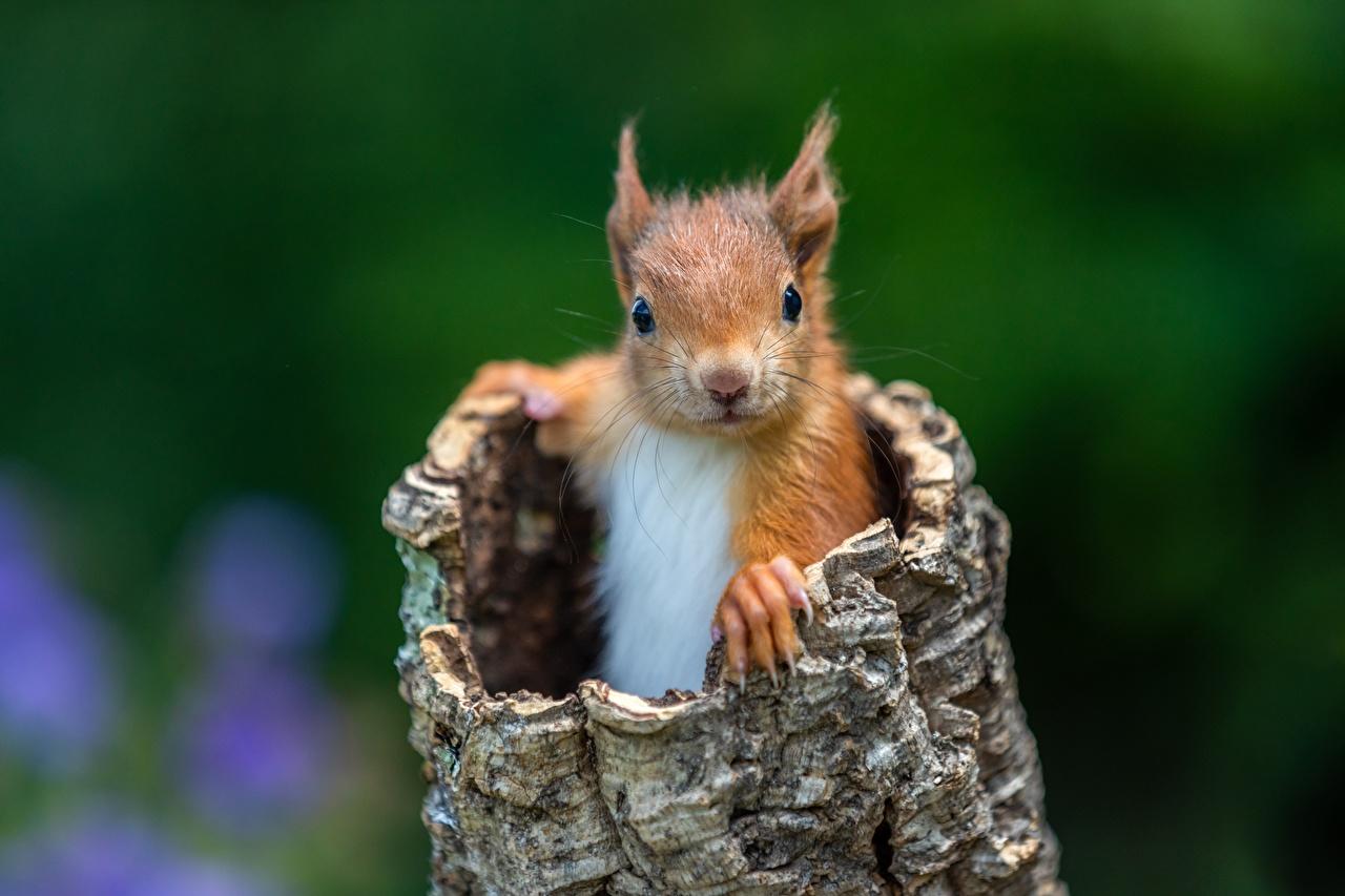 Foto Hörnchen Nagetiere unscharfer Hintergrund Blick ein Tier Eichhörnchen Bokeh Tiere Starren