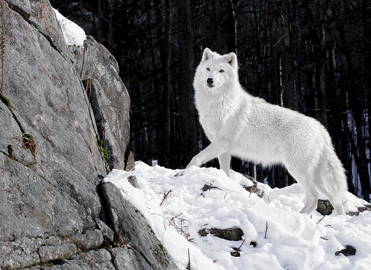 Fonds D Ecran Loup Blanc Animaux Télécharger Photo