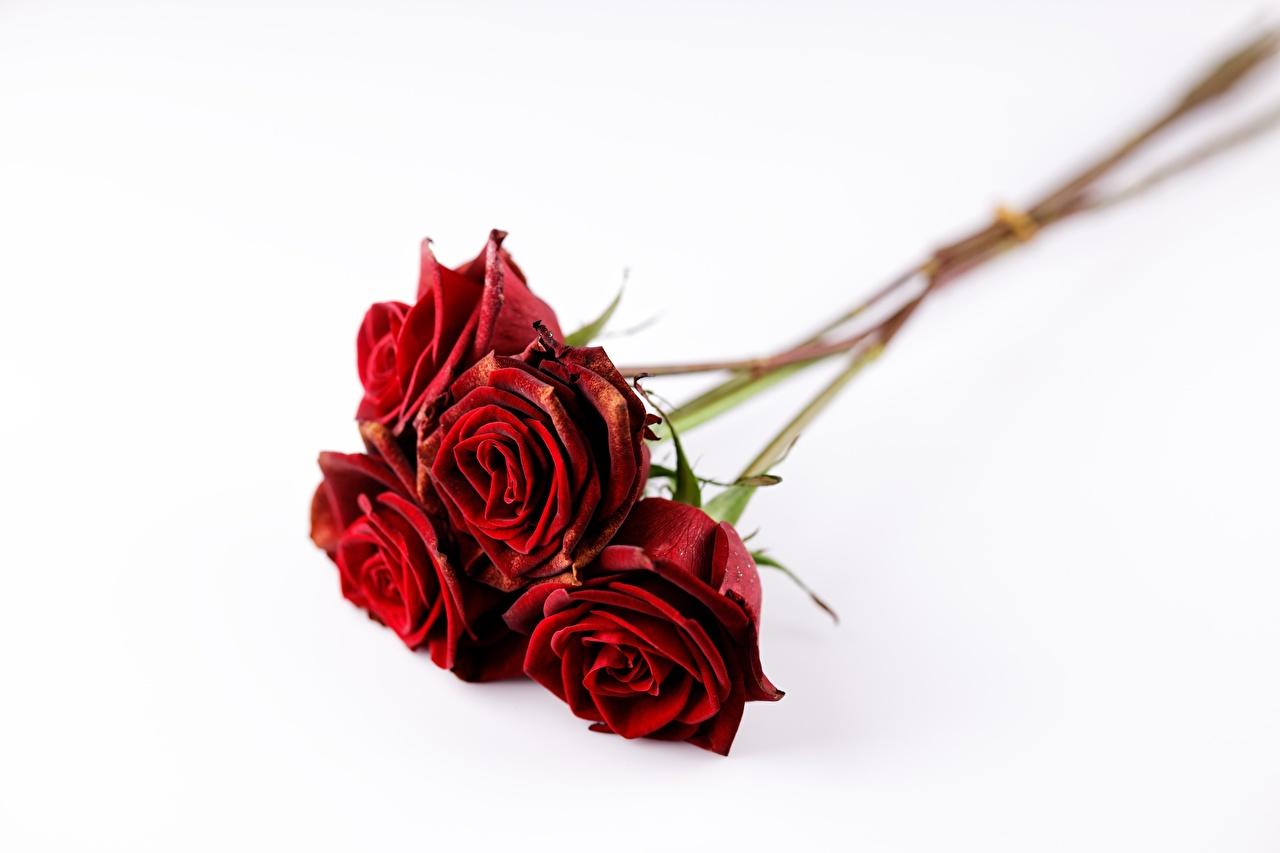 Ramos Rosas El fondo blanco Rojo flor, un ramo, rosa Flores