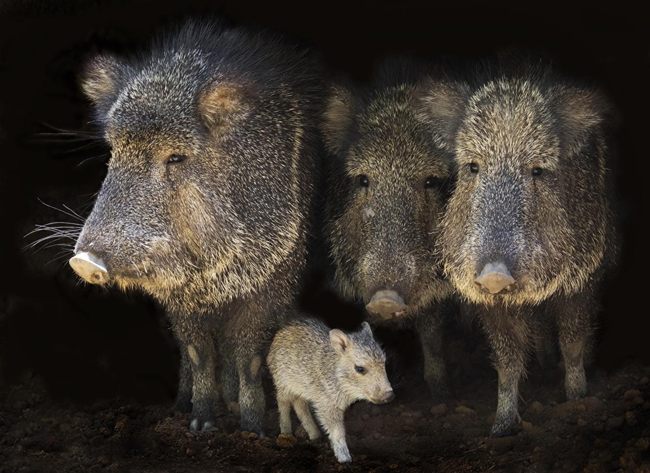 Image Wild boar Cubs Four 4 Animals wild pig wild swine animal